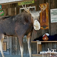 Wawa, No (Live) Moose, But Plenty of Poutine