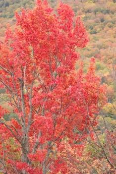 Foliage aflame