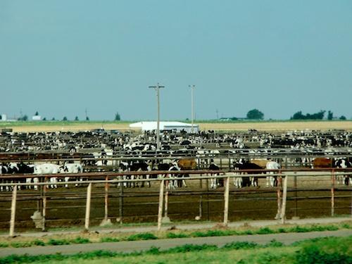 Cows (steer?) everywhere