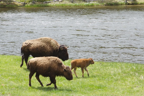 A family of Bison