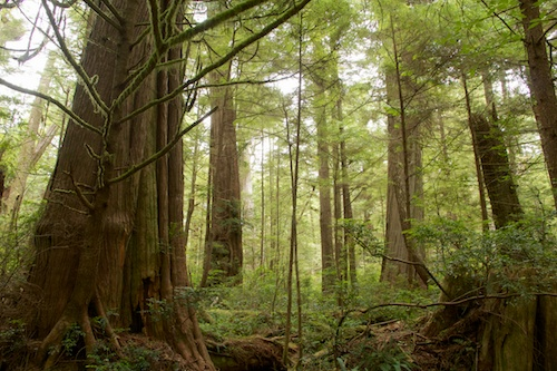 Untouched forests of Olympic National Park