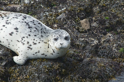 A Harbor seal near Heceta Lighthouse